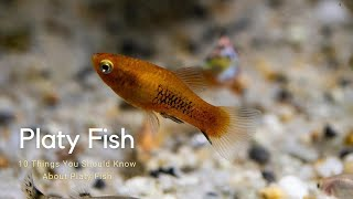 Don't Buy A Platy Fish Unless You Watch This First | 10 Things You Should Know About Platy Fish