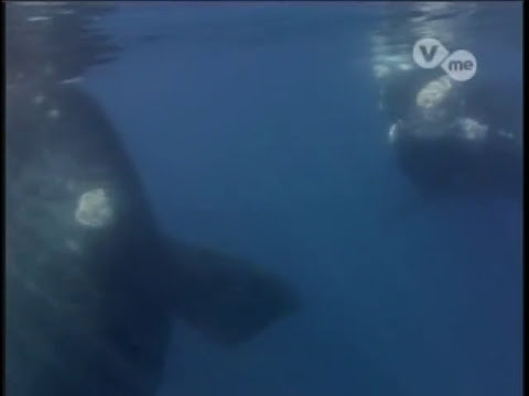 Biologia: Ballenas Documental whale documentary