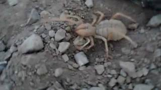 Camel Spider (probably pregnant)
