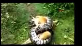 python and dog ; PİTON KÖPEĞİ YAKALADI ( snake kills dogs )