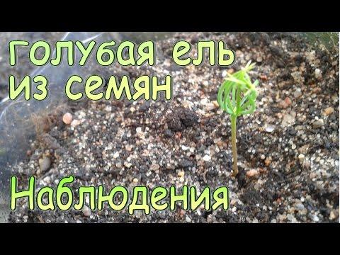 Семена голубой ели из семян в домашних условиях
