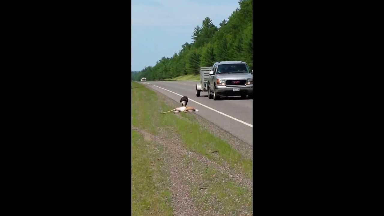 Bald Eagle Eating Deer Bald Eagle Eating a Deer