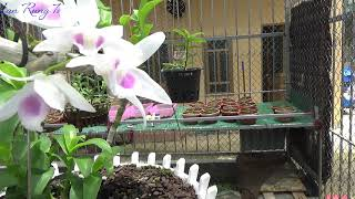 5 Cánh Trắng H.O Nở Tại Vườn
