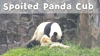 Panda Cub Spoiled By His Mom | iPanda