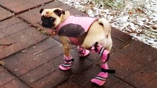 Dogs Try Booties For The First Time