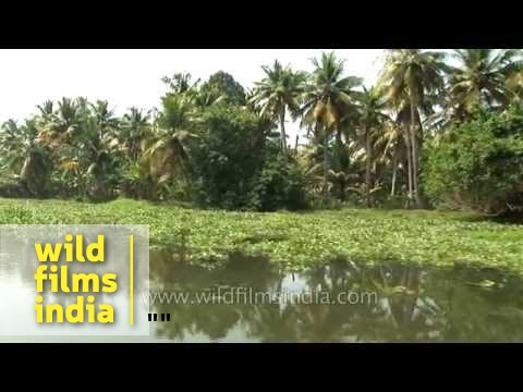 Paddy fields and coconut plantations of Kerala backwaters