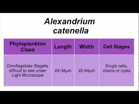 Header of Alexandrium catenella