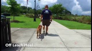"18 Month Old Pit Mix ""Hank"" 