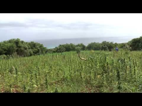Jamaica Day 3 Ganja Field video