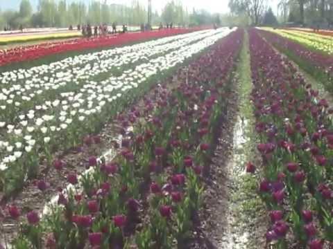 Indira Gandhi Tulip garden Srinagar Kashmir