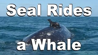 Seal Rides a Whale - Caught on Video!