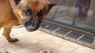 Funny mad dogs   Funny dog compilation
