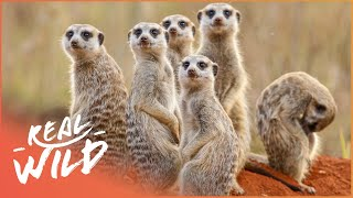 Bandits Of Selous [Mongoose Documentary] | Wild Things