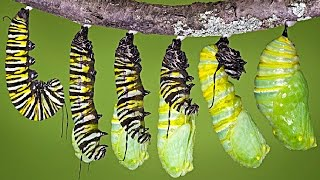 What REALLY Happens When a Caterpillar Turns Into a Butterfly...
