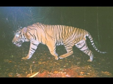 Camera trap results from the Sumatran tiger study site, Indonesia
