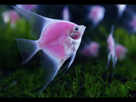 Скалярии. Основные моменты содержания и разведения Angelfish. The Main Points Of Keeping And Breedi