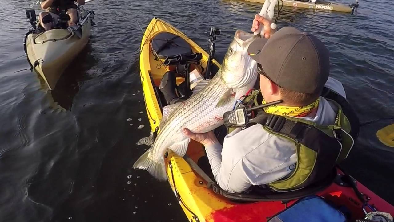 Kayak Fishing For Big Striped Bass With Live Pogies