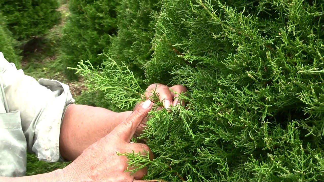 Cultivo pino youtube for Tipos de pinos para jardin fotos