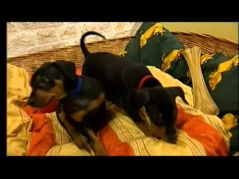 Deutscher Pinscher im Fernsehen, WDR 17.09.2010