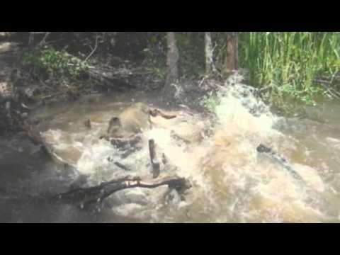 Крокодил поймал и съел свинью crocodile vs pig