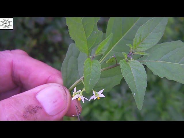 Solanum Nigrum in Telugu Solanum Nigrum   Quickiwiki