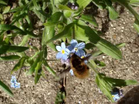 Bee Fly in Middlessex England