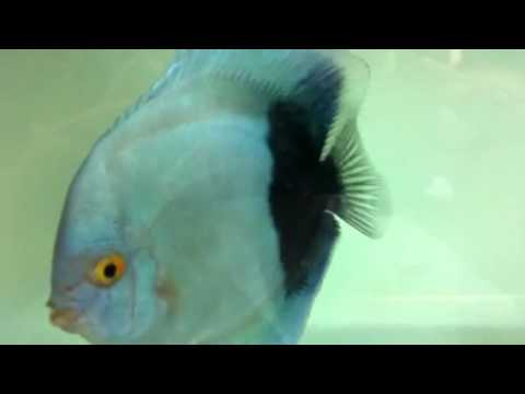 Half Moon Blue Diamond Discus Colour Blue Diamond Discus