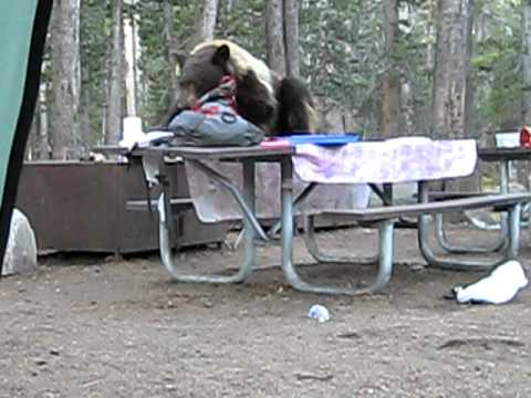 hungry bear at yosemite national park campground youtube