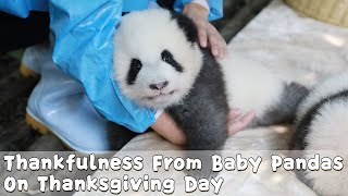 Baby Pandas Expressing Thankfulness To Nannies On Thanksgiving Day | iPanda