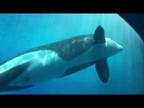 名古屋港水族館 シャチの公開トレーニング完全版 2016/06/26【11:30の回】