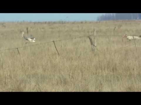 caza de avestruz con galgos, nico rojas y hormiga!!!