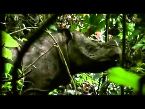 Sumatran rhino becomes EXTINCT in Malaysia after being killed off by poachers   Daily Mail Online