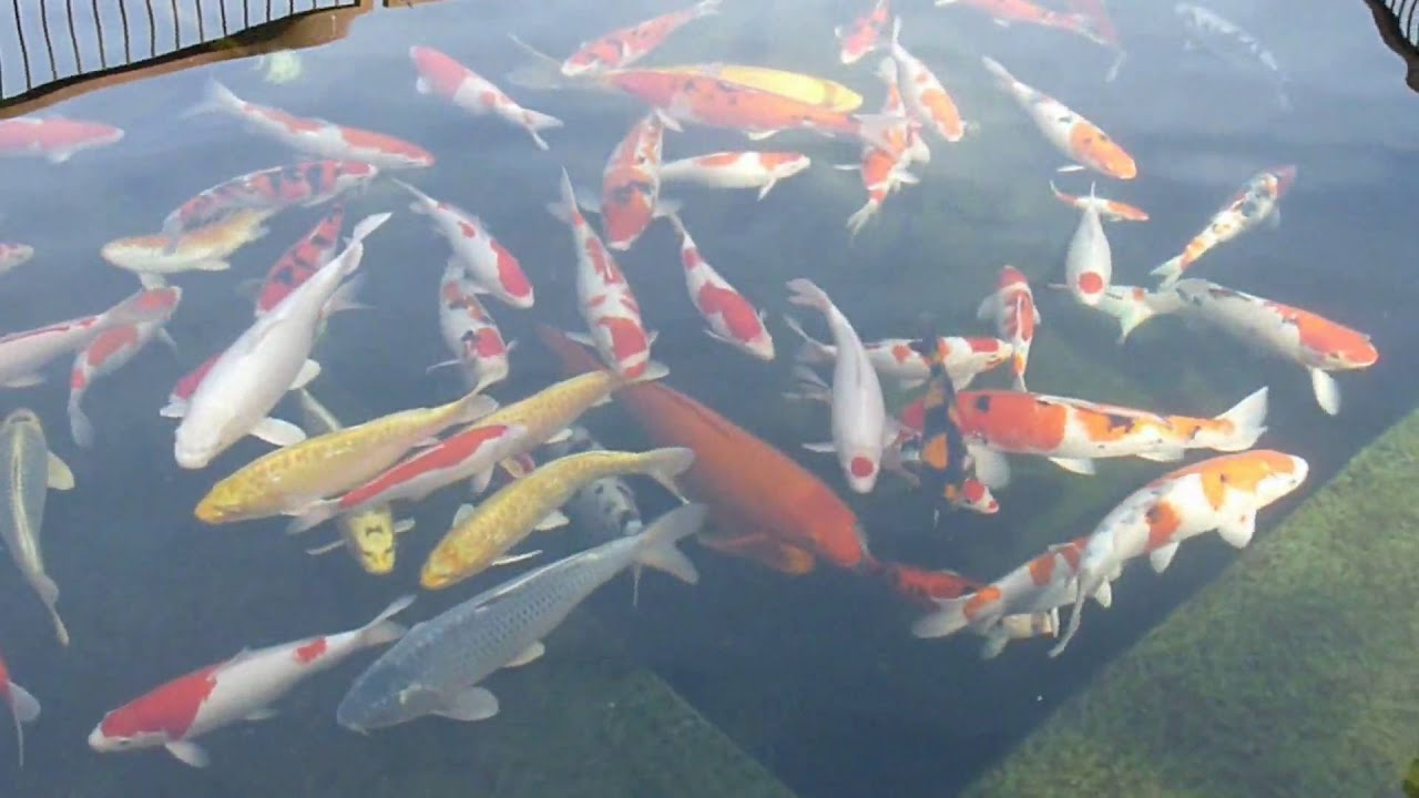 Nishikigoi koi 2 youtube for Nishikigoi koi