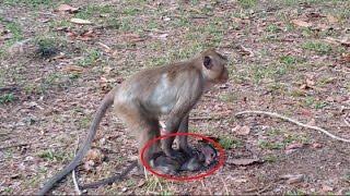 Why big monkey hit baby monkey?,baby monkey cry, Real life of baby monkey, Monkey Camp part 380