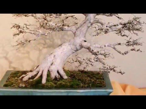 Japanese Bonsai Garden National Arboretum 2016