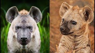 Types of Hyena