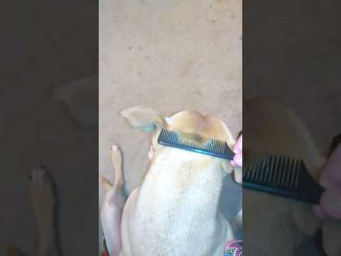 Pitbull getting hair comb