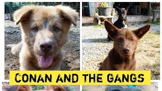 Conan and the gangs, Cute dogs, funny dogs