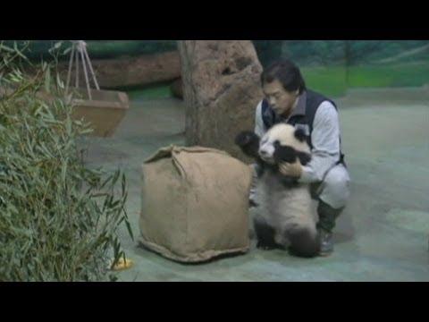 Adorable baby panda