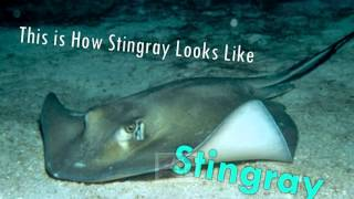 The Difference Between Manta Rays And Stingrays !