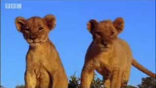 Spotting strange lions - Pride - BBC animals
