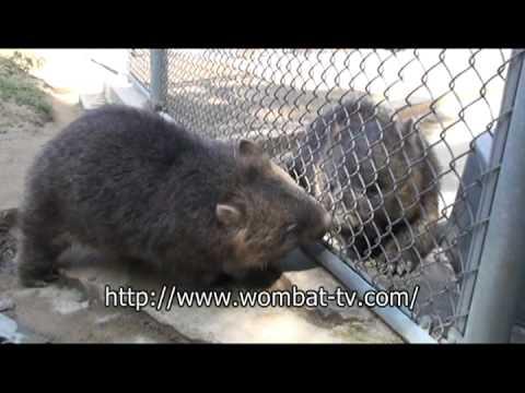 仲良しウォンバット@五月山動物園  by wombat TV
