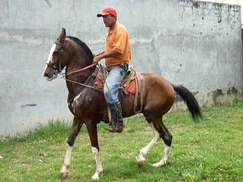 Caballos de Paso Costarricense en Venta Caballo de Paso Costarricense