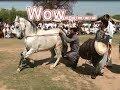Best horse dance in pakistan No.32