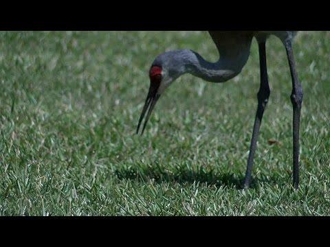 sandhill cranes in San antonio