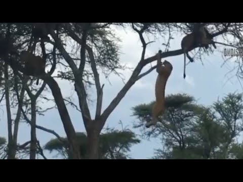 Monkey Climb Up On Tree For Safety, Lion Climb As Well To Look For Food