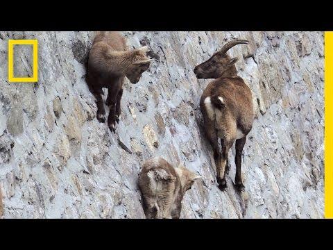 ほぼ垂直なダムの斜面をへっちゃらで登る命知らずなヤギ