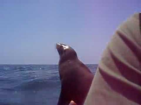 Sea lion jumped onto my kayak Video