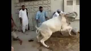 Cow Kick Run Before Qurbani for EID ul Azha - Qurbani Clips Collection 2015
