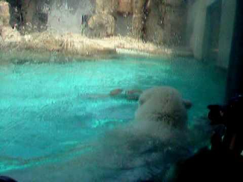 神戸王子動物園北極クマ